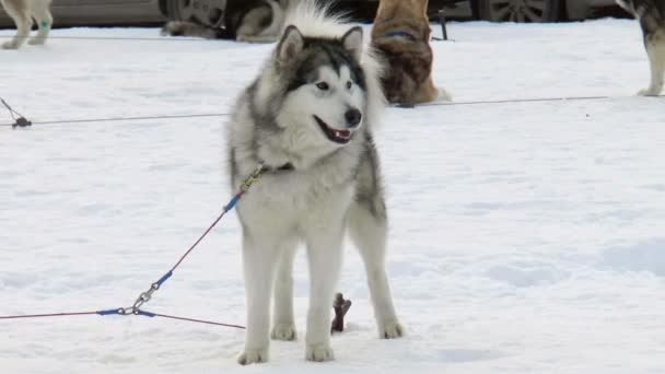 Dog breed Siberian husky, huskies, malamutes