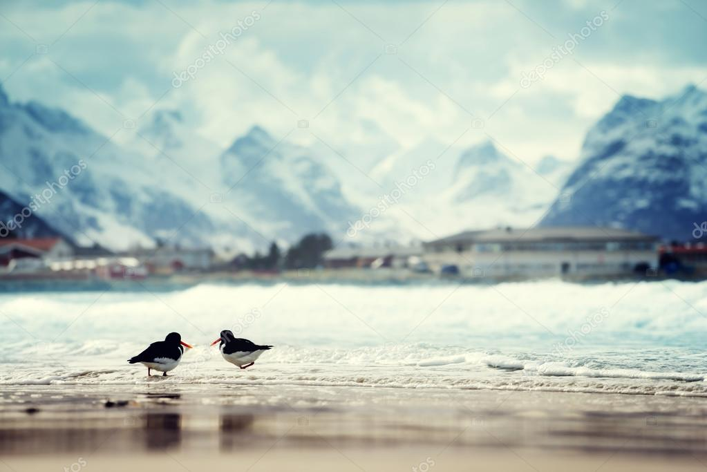 birds and mountain peak on Lofoten beach in spring season, Norwa
