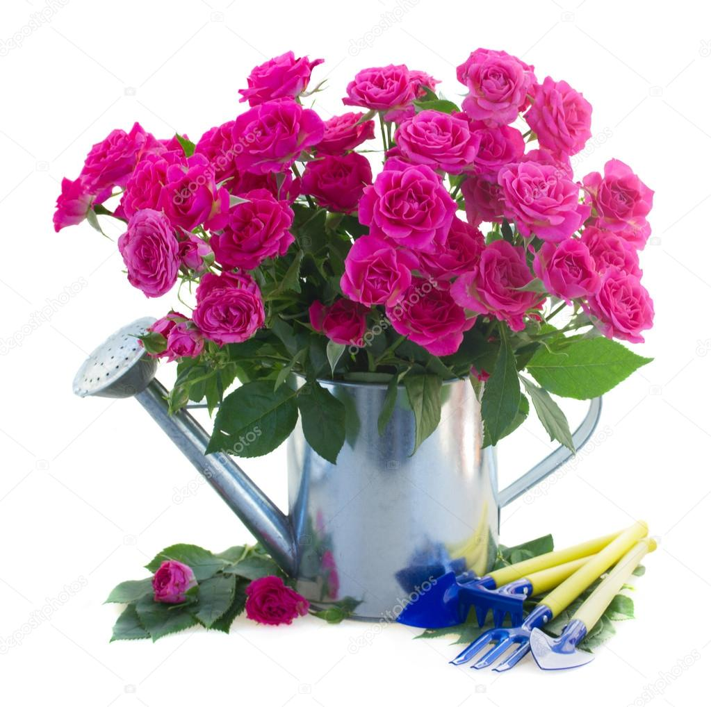 pink rose  flowers with gardening tools