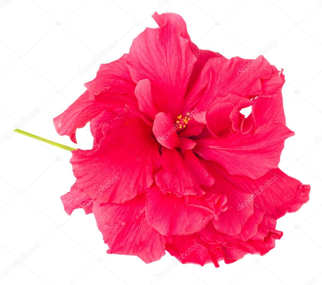 border of colorful hibiscus flowers — Stock Photo © Neirfys #69618921