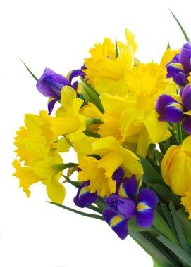 spring narcissus, tulips and irises