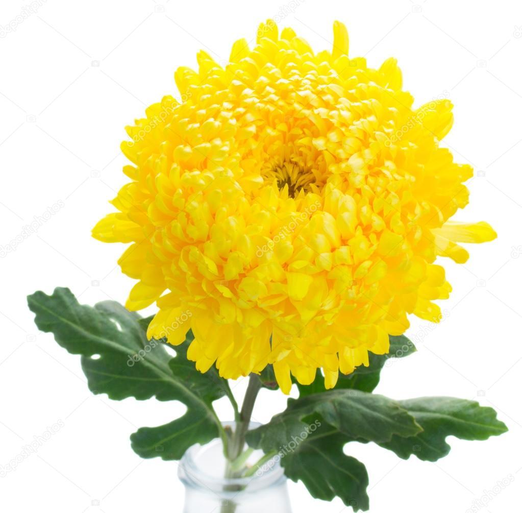 Yellow Mum Flowers Stock Photo Neirfys 76587875