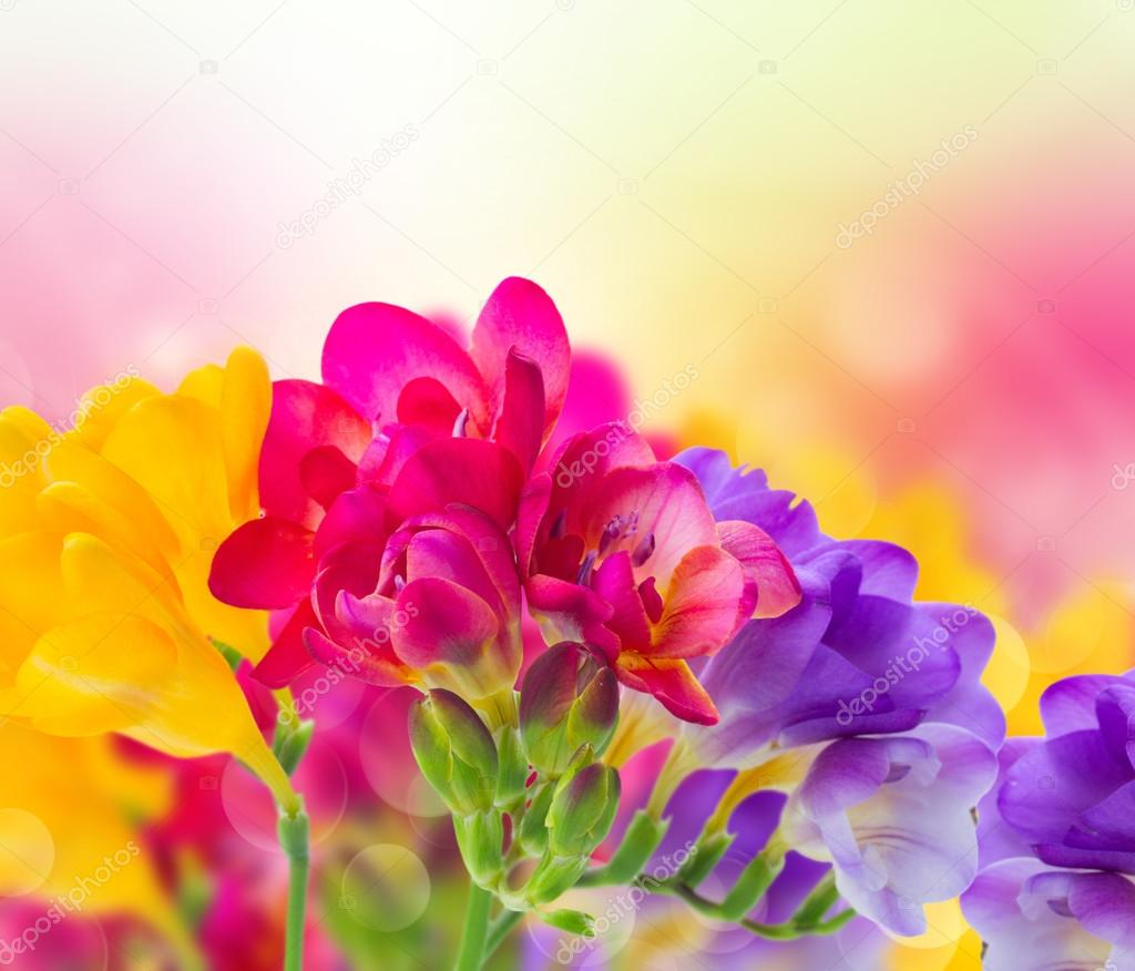 Blue Pink And Yellow Freesia Flowers Stock Photo Neirfys 94096466