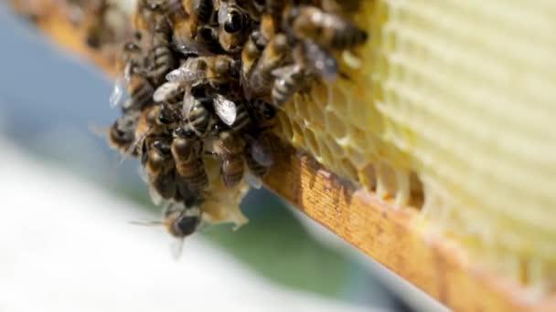 Bienen hautnah auf Wabengestell