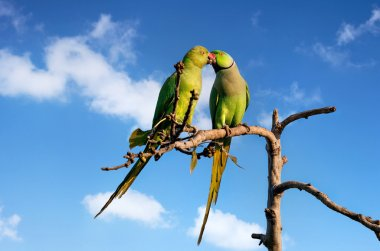 Parakeets in India