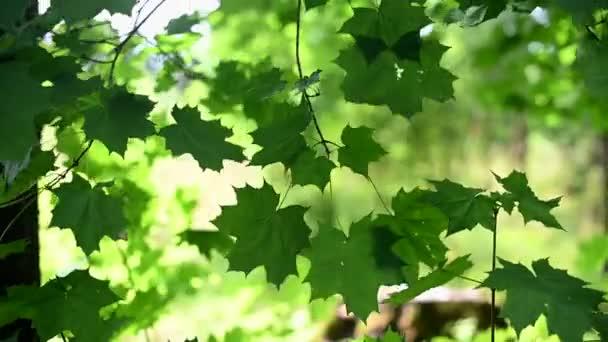 Zelené javorové listy se houpají ve větru