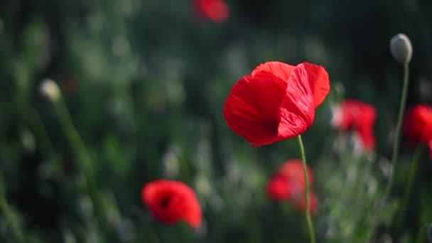 Červené máky zblízka na nekonečném poli s krásným slunečním světlem.