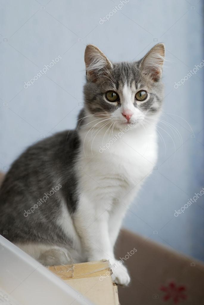 portrait of white and grey kitty cat sitting on cardboard box and looking forward stock photo. Black Bedroom Furniture Sets. Home Design Ideas