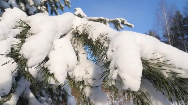 Kiefernzweige unter dem Schnee. Wildtiere, Frost, Winter.