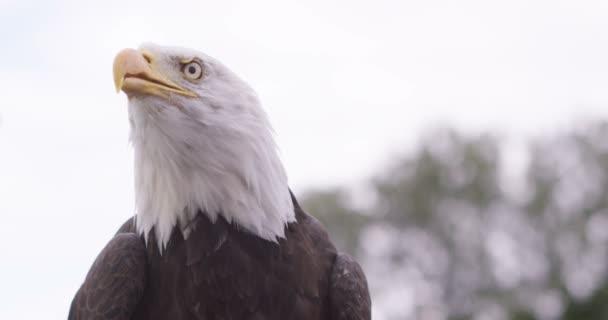 Orel bělohlavý v přirozeném prostředí