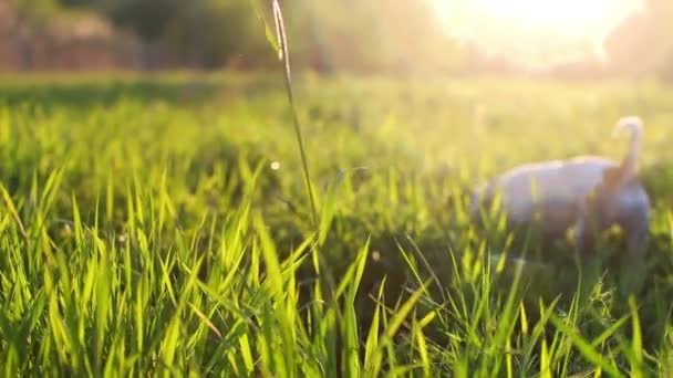 Jack Russell dog runs through a meadow at sunset