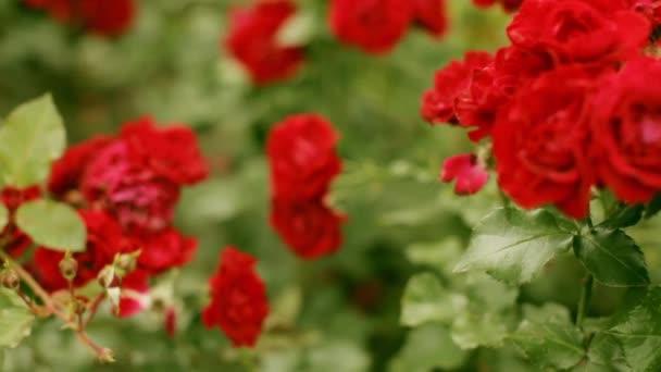 Sok a virágzó piros rózsa