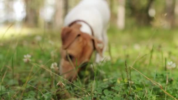 Jack Russell Dog Runs Through the Meadow