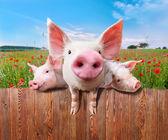 Fotografie Tři kouzelné prasata z nádherné farmy
