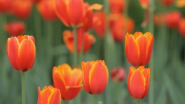 červené tulipány v parku