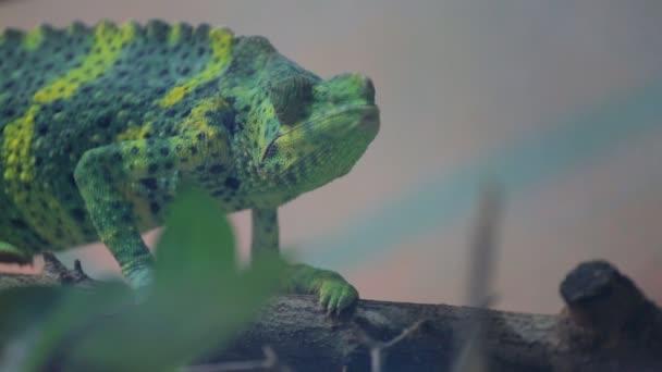 Zeleného chameleona se pomalu pohybuje na větvi
