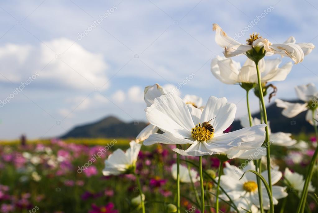 weiße Kosmos Blume — Stockfoto © stoonn #72886111