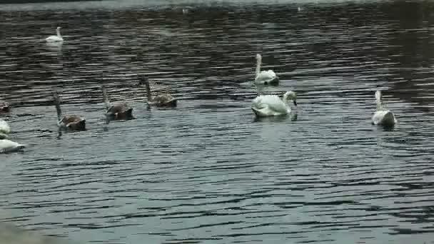 Swan dive poblíž řeky vltava, Praha