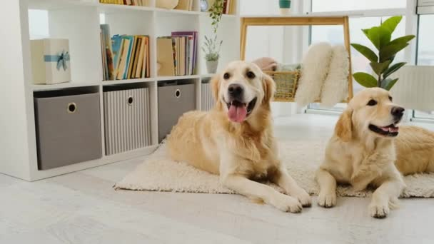 Golden retriever dogs resting on carpet