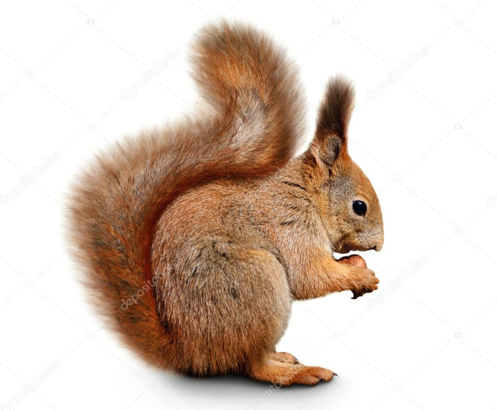 eurasian red squirrel in front of a white background squirrel clip art printables squirrel clipart black