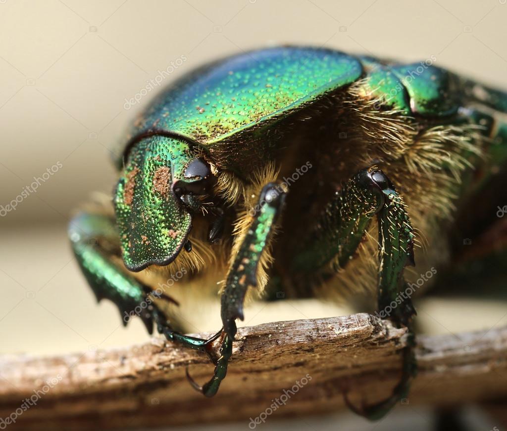 Anatomy of a rose beetle — Stock Photo © anterovium #112341082