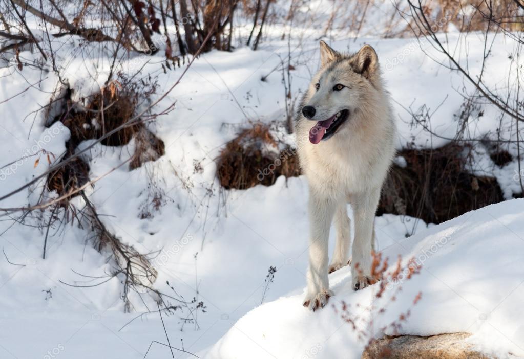 Winter Wolf on a Rock