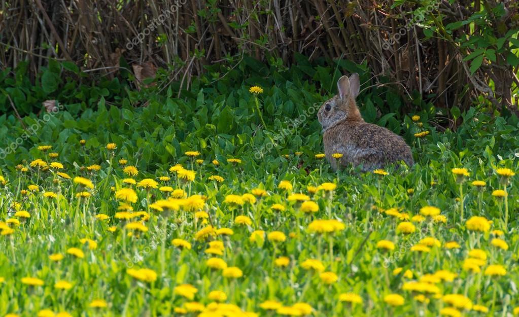 Wild Rabbit in abandoned garden full of dandelions — Stock