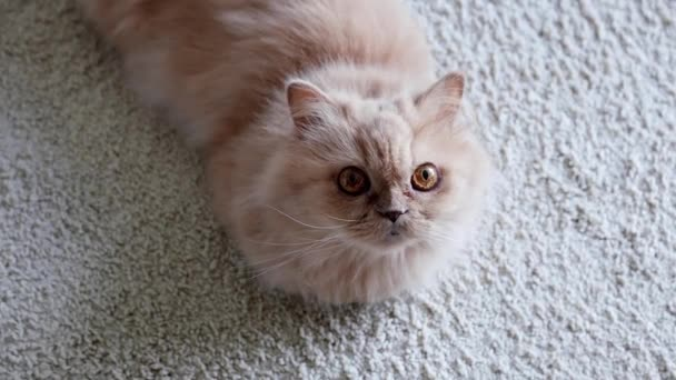 Persian cat staring people and lying on the floor