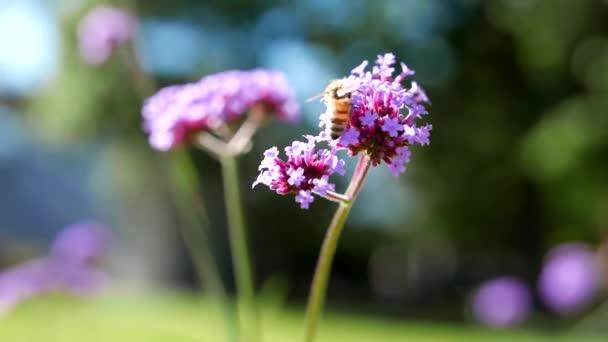 Bee pollen gyűjt a lila virág