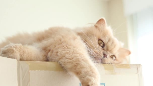 Perzsa macska játszik az emberek