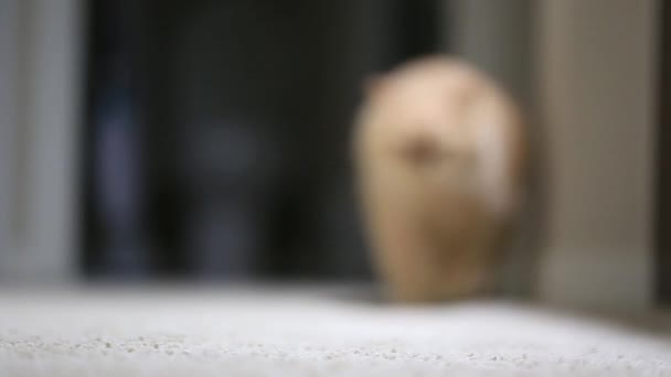 Slow motion of cat walking in front of camera
