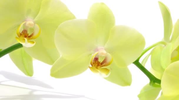 Pobočka zelené orchideje na bílém pozadí se stínem