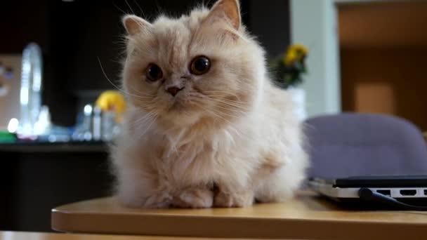 perská kočka hraje s lidmi