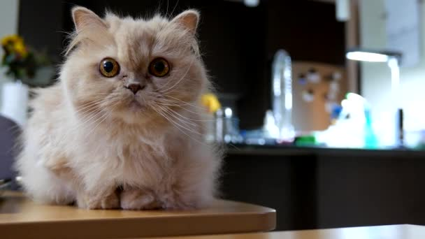 Persische Katze spielt mit Menschen