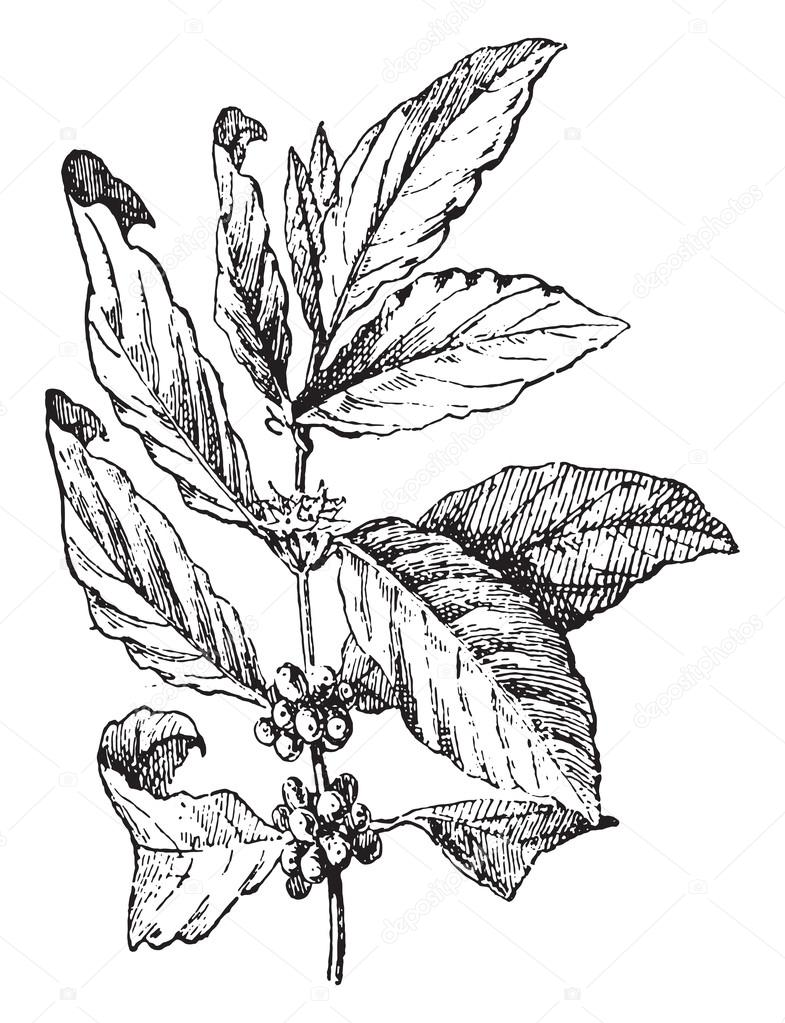 Coffee tree, vintage engraving. — Stock Vector © Morphart ...