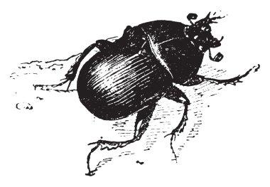 Dung beetle, vintage engraving.