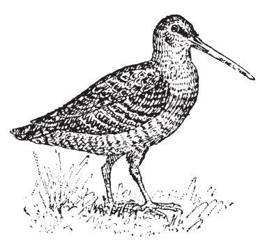 Woodcock, vintage engraving.