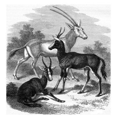 Scimitar-horned Oryx antelope, Antelopes Bless-Bok, vintage engr