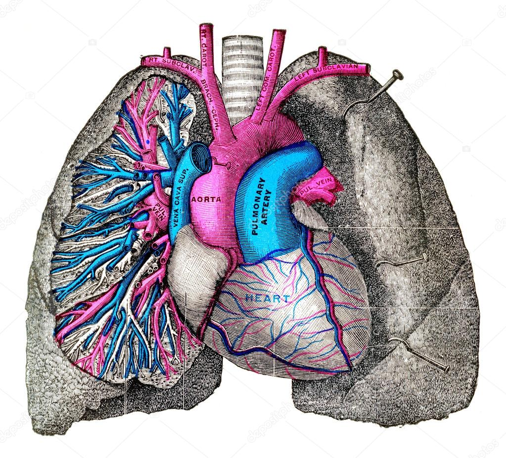 The Pulmonary Artery And Aorta Vintage Engraving Stock Photo
