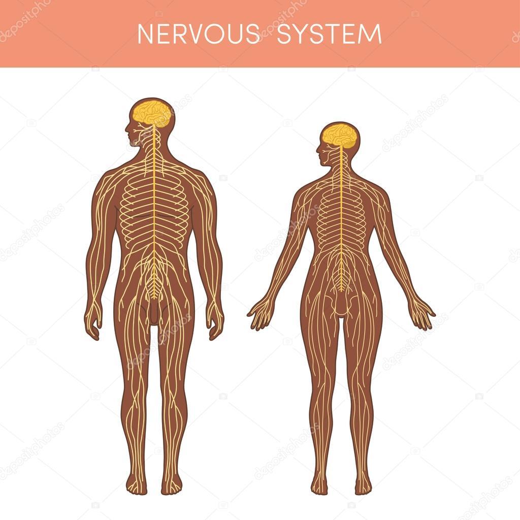 Das Nervensystem des Menschen — Stockvektor © marina_ua #101130134