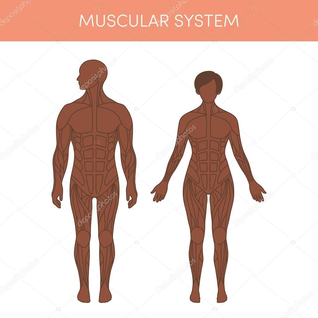 Human muscular system — Stock Vector © marina_ua #101130140