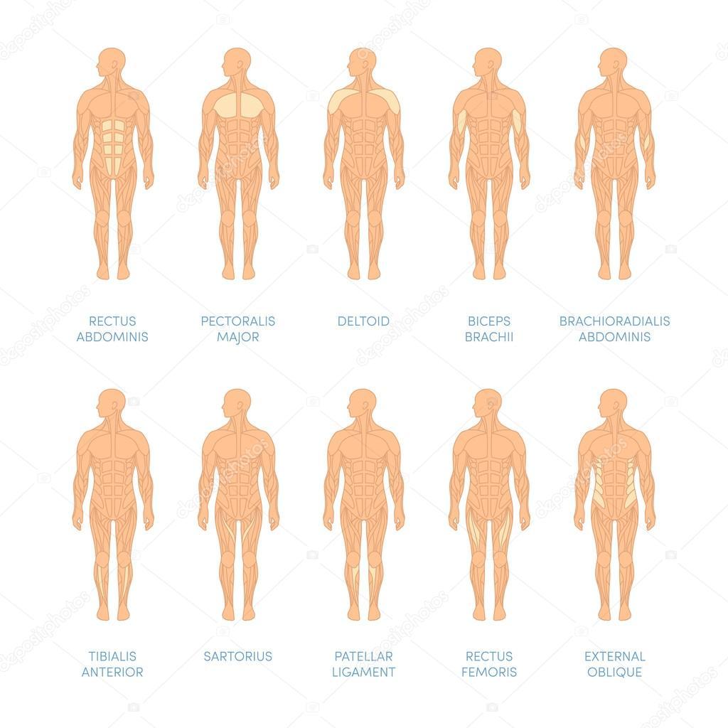 sistema muscular humano — Archivo Imágenes Vectoriales © marina_ua ...