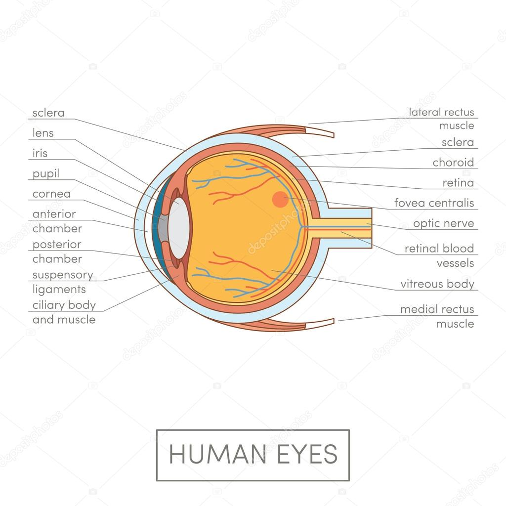 Human eye anatomy — Stock Vector © marina_ua #101130872