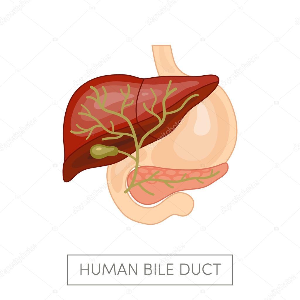 Conducto de la vesícula biliar de un ser humano — Vector de stock ...
