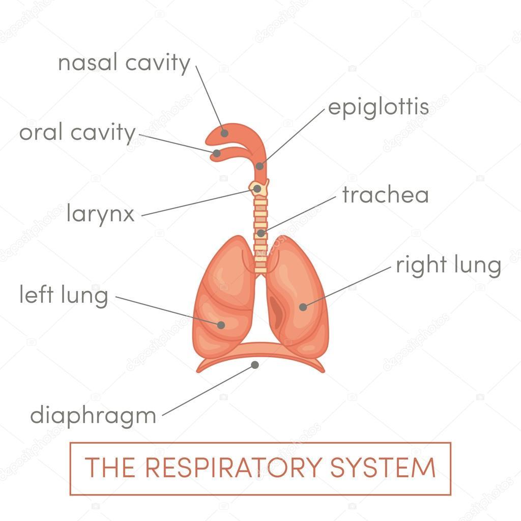 Ilustración de sistema respiratorio — Vector de stock © marina_ua ...