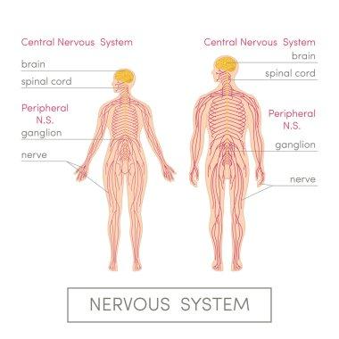 Nervous system of human
