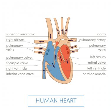 Human heart anatomy cartoon