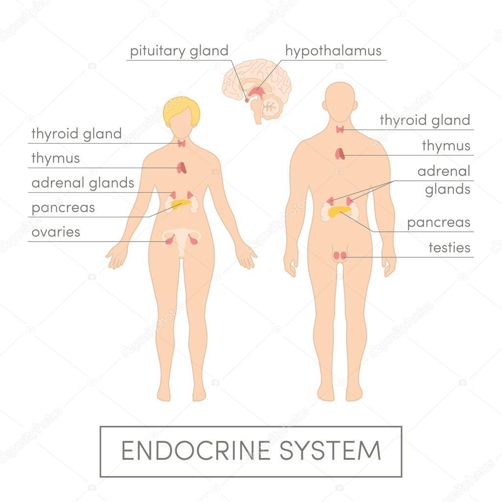 Sistema endocrino del ser humano — Vector de stock © marina_ua #89535708