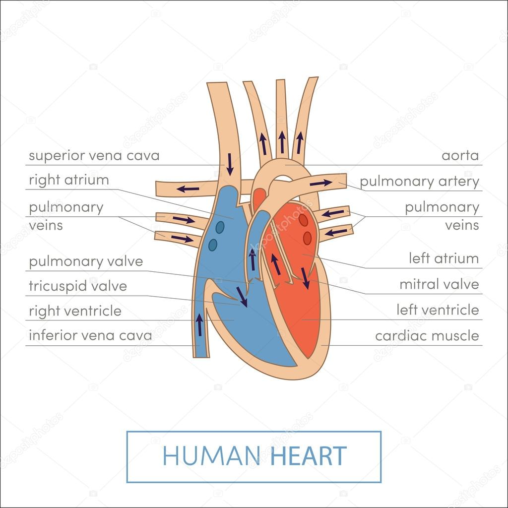 Human heart anatomy cartoon — Stock Vector © marina_ua #89535758
