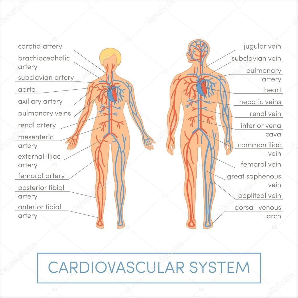 Cardiovascular system of human — Stock Vector © marina_ua #89535766